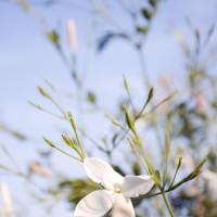 Jasmine fields